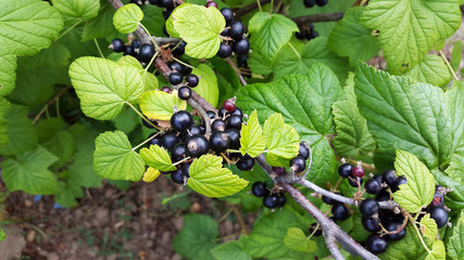 blackcurrant in the garden - black and sweet berries
