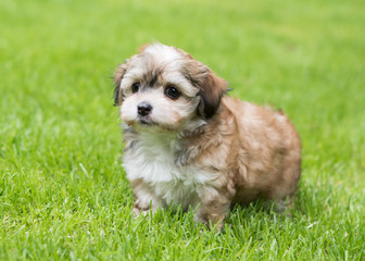 Havanese dog puppy