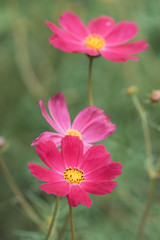 Flowers of the cosmos are brightly pink on a green background in the garden. Selective focus.