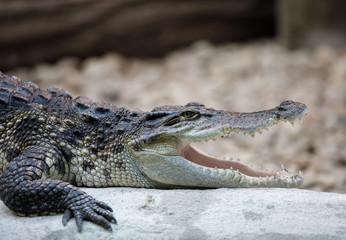 Portrait of a Nile Crocodile