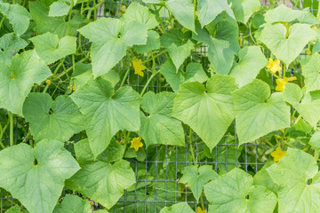 growing cucumbers in hothouse