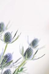 Fresh Eryngium Flowers