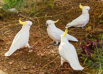 1-2-3-4 Sulphur-crested Cockatoos