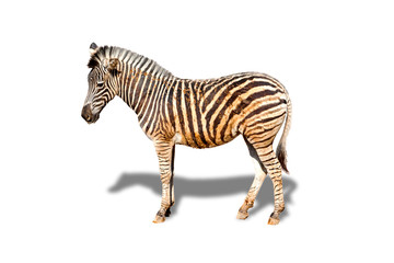 Image cute animal of Zebra with shadow isolated on white background.