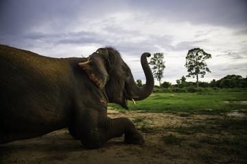 Laying elephant