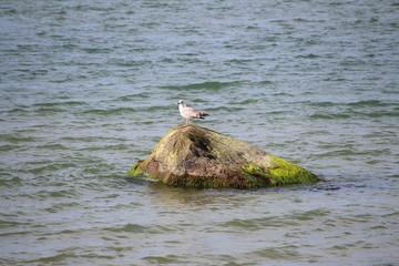 Fotoväggar - Möwe auf einem Felsen