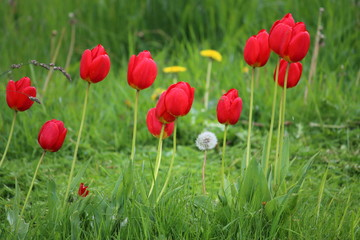 Fotoväggar - Tulpen