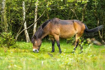 Wild Exmoore Pony
