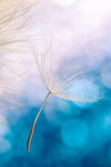Zarter Samen Schirm von Bocksbart mit farbigem Hintergrund