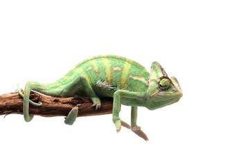 Veiled Chameleon isolated on white background