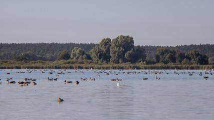 Zugvögelgruppe auf dem Wasser