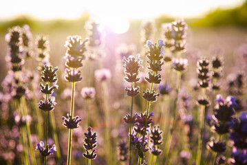 Lavender flowers in the sunlight