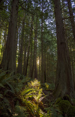The sun rises through the forest in the Pacific Northwest.
