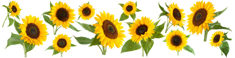 Poster Zonnebloem Sunflowers isolated on white background