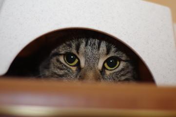 Grey cat plays hide and seek