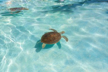 Green sea turtle. Close-up