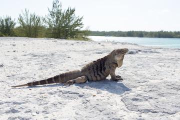 Single iguana on the stone beach