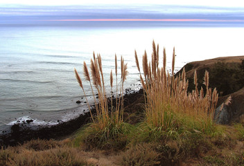 California Coastal Pampas Grass