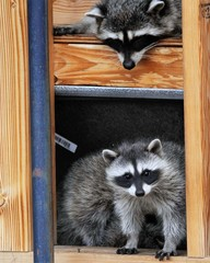 Raccoons in Building
