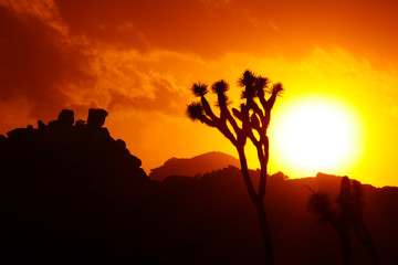 Joshua trees as sunset, Joshua Tree National Park, USA