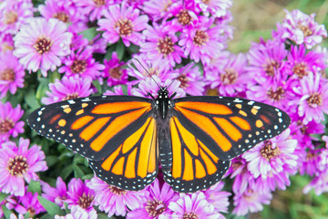 Monarch Butterfly with Spread Wings