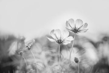 Fototapete - Cosmos flower
