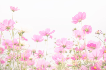 Soft and blurred focus Cosmos flower on white background