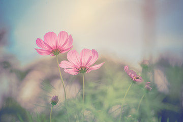 Cosmos flower on vintage background