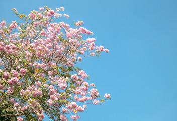 Wall Mural - Sakura flower or Trumpet tree on blue sky background
