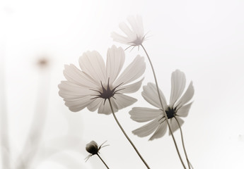 Fototapete - High key and soft image of white cosmos flower