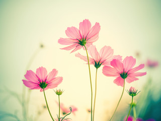 Fototapete - Cosmos flower in the field on nature background