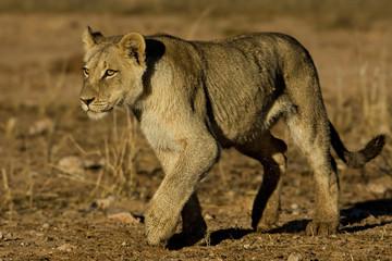 Lion Cub Walk