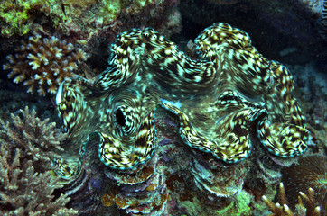 giant clam found in coral reef area at Redang island, Malaysia