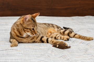 Gato de Bengala, Bengali. Tumbado con juguete.