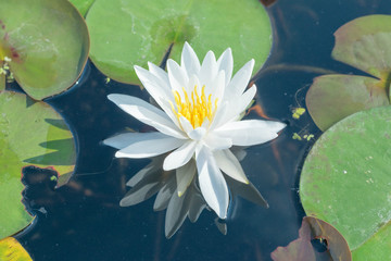 White lotus flower, leafs and a reflection of petals in a pond