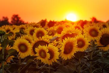 Setting sun on the sunflower field