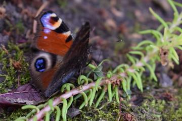 Red butterlfy macro close-up