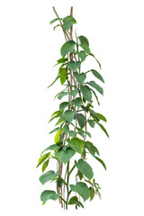 Jungle vine plants isolate on white background, clipping path