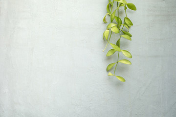 Green dave climber plant on concrete wall,home decorative design.