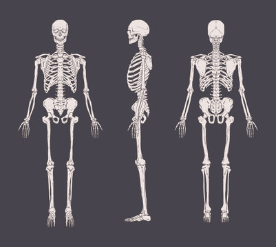 Set of realistic skeletons isolated on gray background. Anterior, lateral and posterior view. Concept of anatomy of human skeletal system. Vector illustration for educational or medical banner.