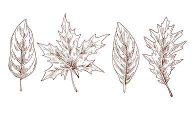Various autumn leaves contoured. Brow contour. Vector