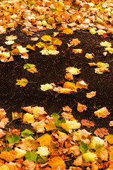 Beautiful autumn background with maple leaves close up. Colorful Outdoor autumn concept.