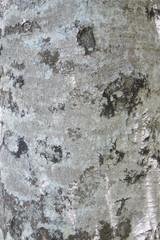 Wall Mural - beech bark