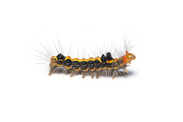 Colorful hairy caterpillar isolated on white background