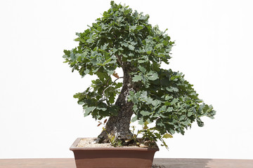 Oak (quercus robur) bonsai on a wooden table and white background