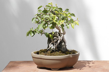 Carpinus turczaninowii bonsai on a wooden table and white background