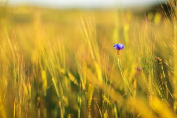 Cornflowers in field of barley
