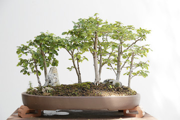 Field elm (ulmus minor) bonsai on a wooden table and white background