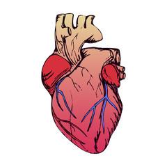 Anatomical heart isolated on white. Grunge stile.