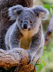 Photo Stands Koala Joey Koala walking along a branch